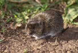 Польові мишоподібні гризуни: боротьба хімічними засобами