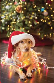 Holiday Dangers For Pets Family Vet Animal Medical Center