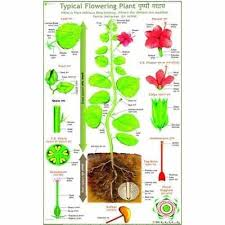 Plant Chart Typical Parts Of Flowering Plant Charts