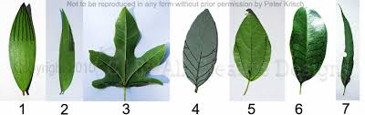 BRITISH TREES  A CHART OF TREES LEAVES AND FRUITFruit Tree Leaf Identification