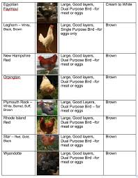 Different Types Of Chickens Chart Unusual Chicken Comparison Chart Types Of Chickens Chart Hen