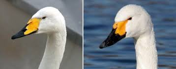 Resultado de imagen para cisne cantor