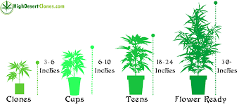 Cannabis Plant Growth Chart 34 Rational Grow Chart Weed