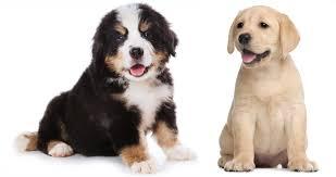 bernese mountain dog mix. Perfect Mountain Labernese  Bernese Mountain Dog Lab Mix On D
