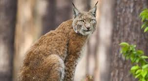 lynx size wild cats the size of alsatians could be reintroduced to uk to hunt deer