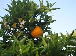 Calamondins Fruits  Tree Flowers Varieties Medicinal Uses Small Orange Fruit On Tree