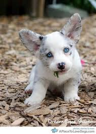 cute puppies with blue eyes. Brilliant Eyes Source Check Out This Cute Corgi With Stunning Blue Eyes With Cute Puppies Blue Eyes