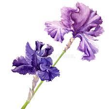 beautiful flower iris stock ilration ilration of artistic 36893492