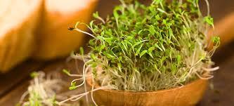 7 amazing alfalfa sprouts benefits 5 will keep you young