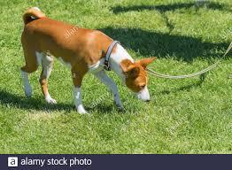 Mature basenji dog walking on a fresh ...