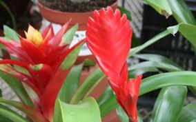 bromeliad types