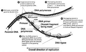 Dna Replication A Quick Revision Biochemistry For Medics
