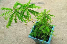 curry leaf plant kitchen garden health benefits