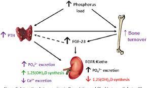 interaction between vitamin d regulation and fibroblast growth factor 23
