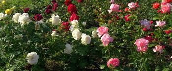 rose colors meaning and symbolism