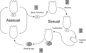 Venn Diagram Of Asexual And Sexual Reproduction Asexual Vs Sexual Reproduction Venn Diagram Sinda