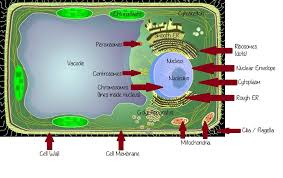Cell City Analogy Examples Volleyball Analogies Volleyball Is Like A Eukaryotic Plant