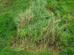 Help Identifying Grass The Lawn Forum