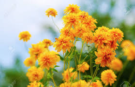 bright yellow garden flowers shallow depth of field selective focus stock photo