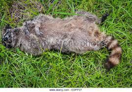 dead raccoon at night ile ilgili görsel sonucu