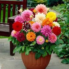 Garden State Floral Design Garden State Bulb Dahlia Decorative Mixed Bulbs 12 Count