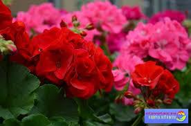 О цветах всё и всем Аптека на подоконнике домашние лекарственные   аптека на подоконнике домашние лекарственные растения это