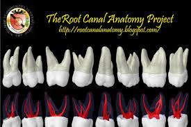 Maxillary Second Molar The Root Canal Anatomy Project Maxillary Second Molar