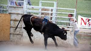 rodeo bulls animals. Perfect Bulls Bulls Are Judged With A  With Rodeo Animals I