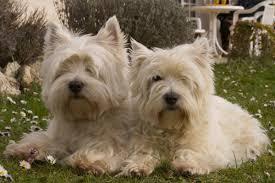 silky dog white. white, dog, mammal, dogs, animals, vertebrate silky dog white h