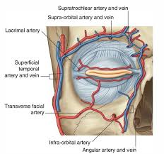 arteries of the face easy notes on superficial temporal artery learn in just 3 minutes