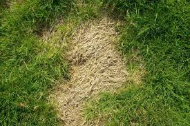 Lawn Grubs How To Identify Get Rid Of And Prevent Them Dengarden