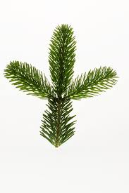 Pine Branches For Decoration Free Images Branch Leaf Evergreen Christmas Tree Twig