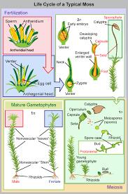 Venn Diagram Of Vascular And Nonvascular Plants Bryophytes Biology Ii
