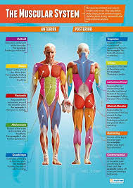 The Muscular System Pe Posters Laminated Gloss Paper Measuring 33 X 23 5 Physical Education Charts For The Classroom Education Charts By