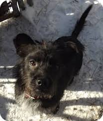 black cairn terrier mix. Simple Cairn Intended Black Cairn Terrier Mix E