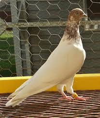 russian high flyer pigeons for sale 11 best owl pigeon images on pinterest pigeon breeds birds and