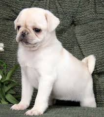 cute baby white pugs.  Pugs Cute White Pug Puppy Inside Baby Pugs