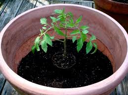 the stem of the tomato transplant will sprout roots that give the plant a better start