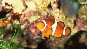 baby clown fish eggs. Perfect Fish JupiterimagesPhotoscomGetty Images On Baby Clown Fish Eggs H