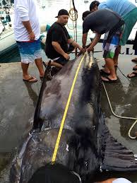 Angler Lands 1 368 Pound Blue Marlin From 20 Foot Skiff