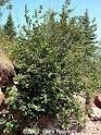 green alder