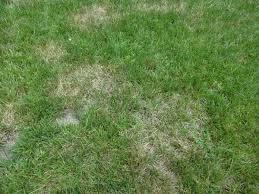 Brown Patch Disease Brown Patch Lawn Disease Turfgator