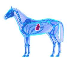 Maagzweren Bij Paarden Paardenkliniek Hollands Kroon