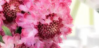 Scabiosa Floral Design Floral Portrait Series The Pink Scabiosa Macro Hazed