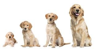 Large Scale Cancer Study Of Golden Retrievers Holds Hope For All