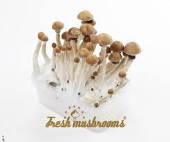 Magic Mushroom Grow Kit Cambodian - Kosmic Kitchen