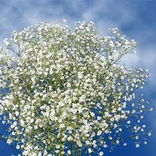 fresh million star gypsophila flowers