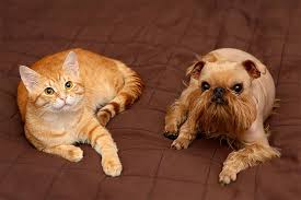 Brussels Griffon Weight Chart Brussels Griffon Dog Breed Information Pictures