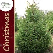 Traditional Norway Spruce Christmas Tree (18ft - 20ft)