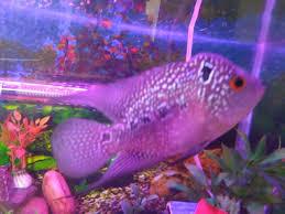 Aquarium Design For Flowerhorn Its A Male Or Female Flowerhorn Fish My Aquarium Club